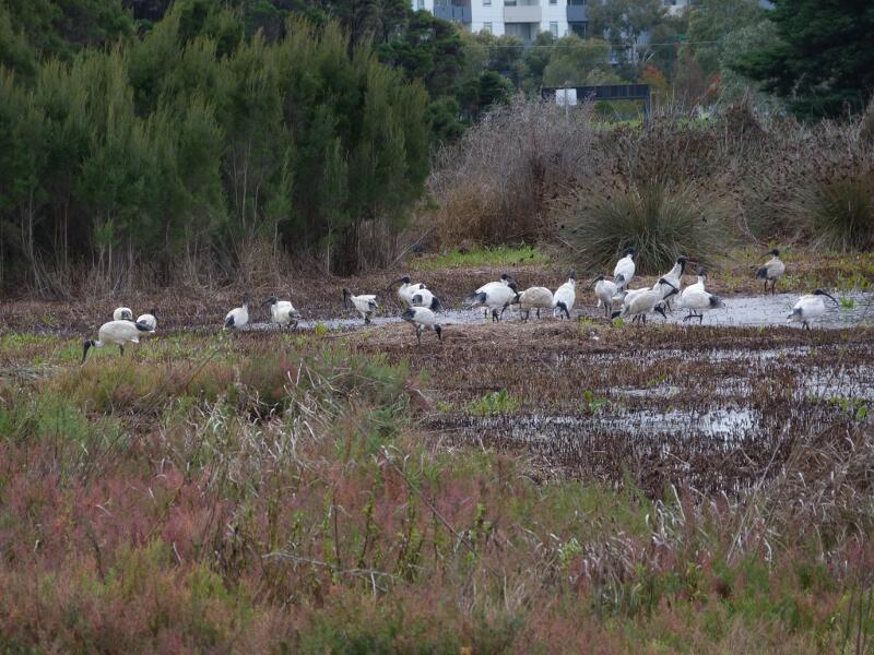 ns-aust-white-ibis-tn