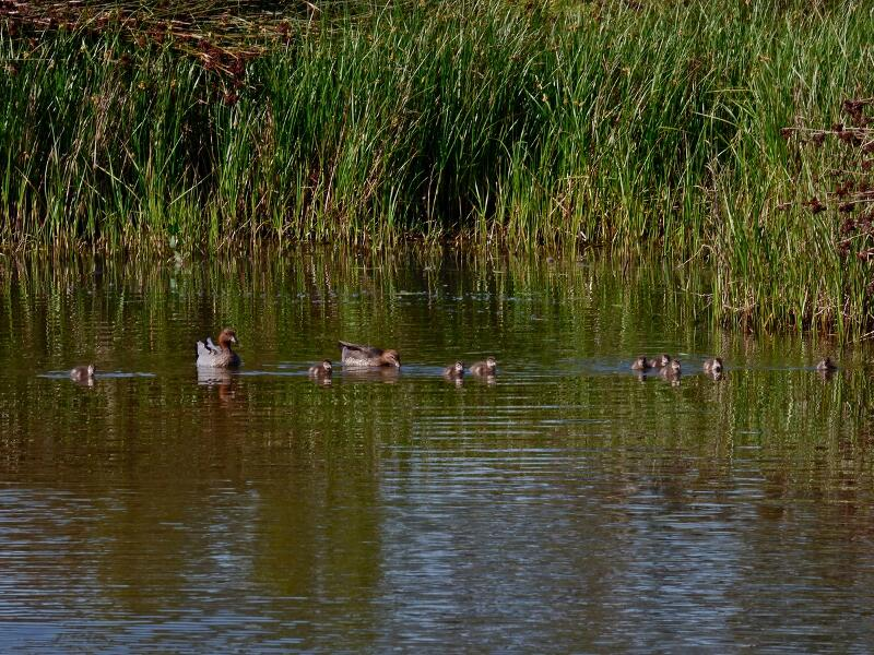 wood duck family-2