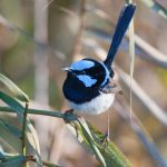 Superb Blue Wren